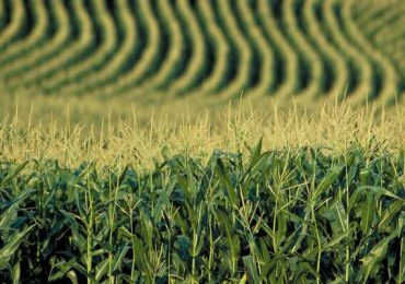 România, pe primul loc în UE la producţiile de porumb şi floarea soarelui