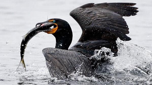 """Cormoranii, din nou în actualitate: """"S-au înmulţit foarte mult, consumă 20.000 de tone de peşte pe an"""""""