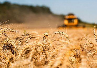 Recolta de grâu estimată pentru 2020