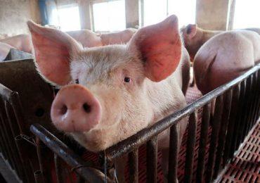 O nouă clasificare a fermelor de porci