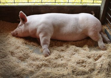 Bani de la Comisia Europeană pentru despăgubirile acordate în cazul pestei porcine africane