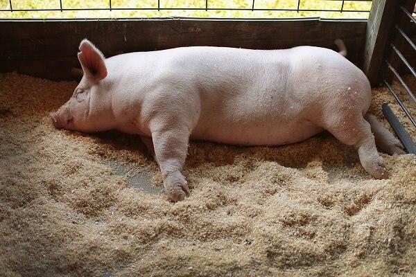 Noi cazuri de pestă porcină africană confirmate în Bulgaria