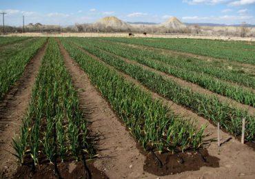 Se modifică actul normativ care prevede acordarea subvenţiei pentru producătorii de usturoi!
