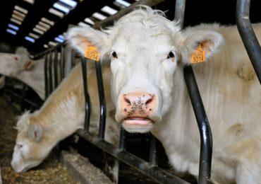 APIA efectuează plata ajutorului de stat pentru ameliorarea raselor de animale
