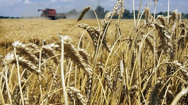 Munca de cercetare agricolă dă roade >> Soiuri de grâu şi porumb rezistente la boli vor fi înregistrate de specialiştii de la Fundulea