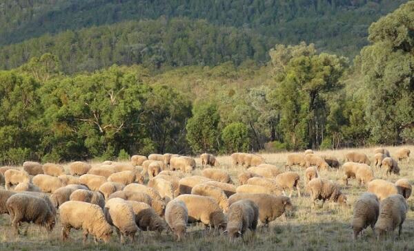 Noi scheme de ajutor de stat în sectorul creşterii animalelor