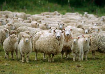 Peste 1.300 de oi evacuate de la stânele din lunca Prutului