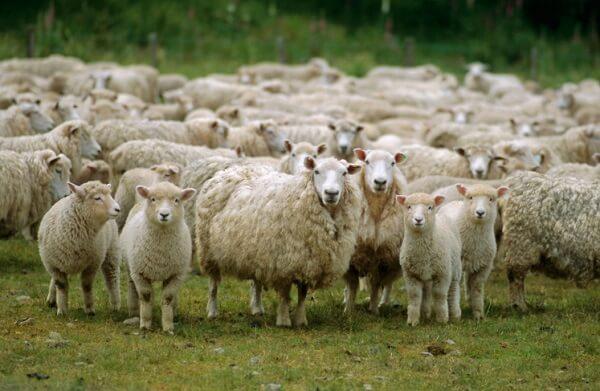 România va exporta 200.000 de ovine în Golful Persic