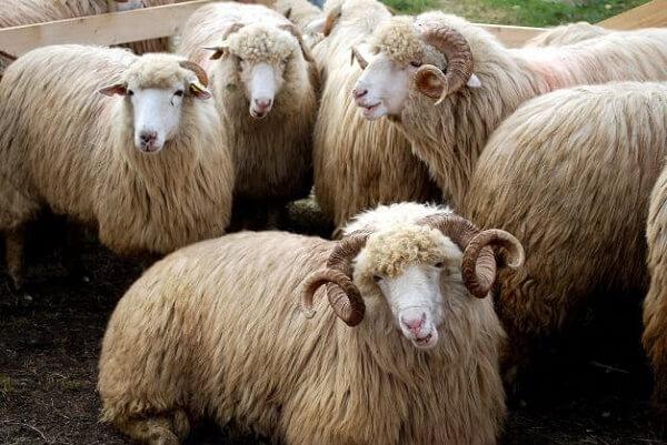 Sacrificările şi greutatea în carcasă, în creştere la ovine şi caprine