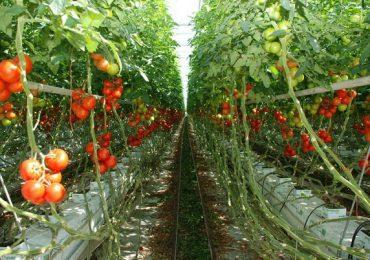 """Mai mulţi bani pentru programul """"Tomata în spaţii protejate"""""""