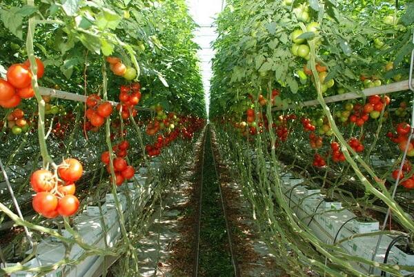 Programul de sprijin pentru tomate, interes crescut în rândul producătorilor agricoli