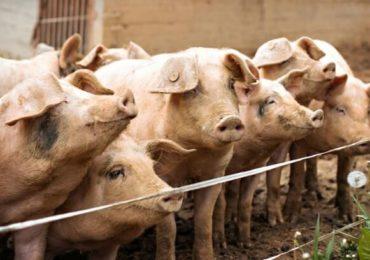 Numărul focarelor de pestă porcină africană, în creştere