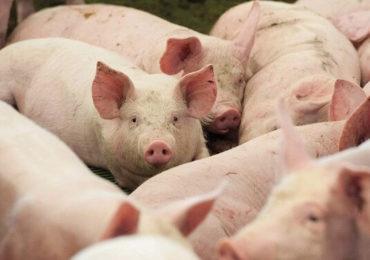 Noi focare de pestă porcină africană descoperite pe teritoriul României