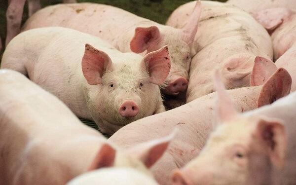 China verifică posibila folosire a vaccinurilor ilegale împotriva pestei porcine africane
