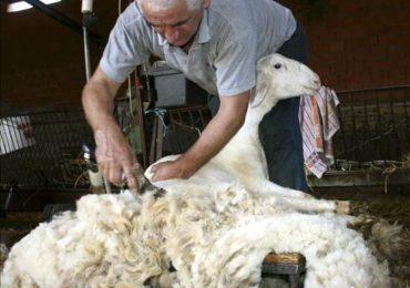Fermierii pot primi ajutoare pentru comercializarea lânii până la 21 octombrie