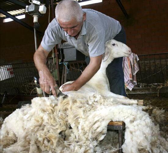 Creşte ajutorul de minimis acordat crescătorilor de ovine pentru comercializarea lânii