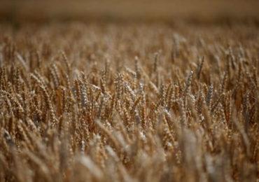 Franţa, la a doua mare recoltă de grâu moale din istorie
