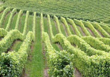 Bani pentru plantaţiile viticole