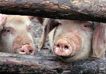 Evoluţia pestei porcine africane în România