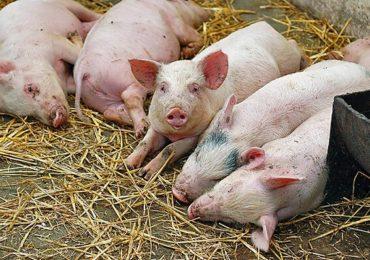 Un deputat solicită modificarea ordinului de limitare a numărului de porci într-o gospodărie