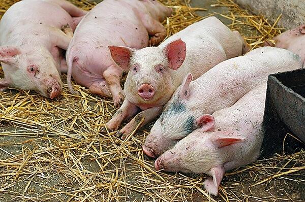 China a pierdut o treime din efectivele de porci