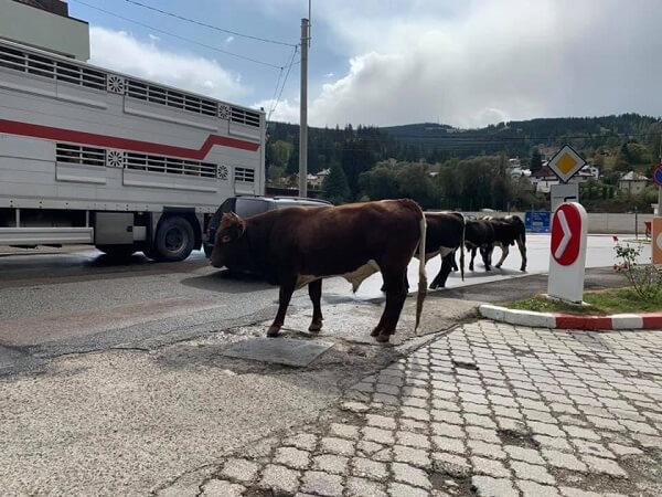Vaci lăsate libere pe străzi terorizează locuitorii oraşului Vatra Dornei