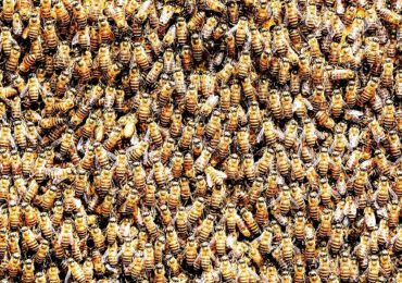 Un stup cu aproape 70.000 de albine, îndepărtat dintr-o casă