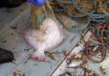 Cota de pescuit la calcan a României, majorată la 75 de tone pe an