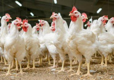 Peste 22.000 de păsări omorâte la ferma din Maramureş unde a fost descoperit al doilea focar de gripă aviară