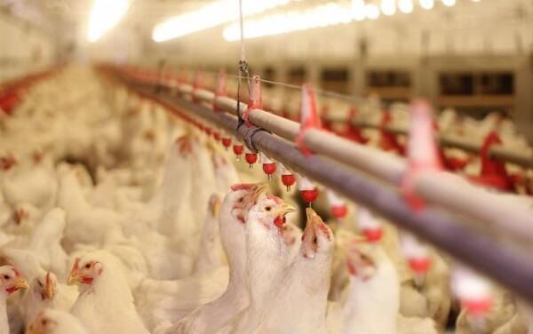 Gripa aviară se extinde! Focare noi descoperite în Slovacia, Ucraina şi Germania