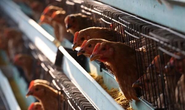 Focar de gripă aviară foarte periculoasă!