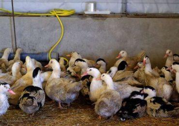 Epidemie de gripă aviară la o fermă de raţe