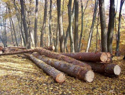 Hoţi de lemn, prinşi de poliţişti!