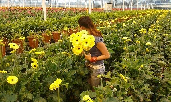 Industria horticolă din Olanda se ofileşte din cauza coronavirusului