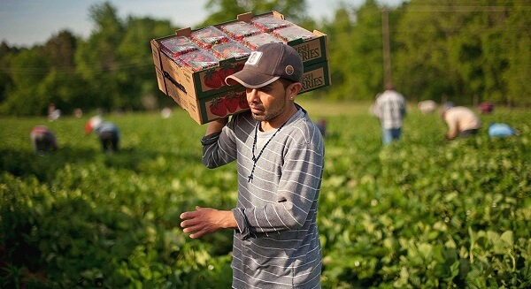 Migranţii ilegali, soluţia guvernului italian pentru a suplini lipsa lucrătorilor europeni în agricultură