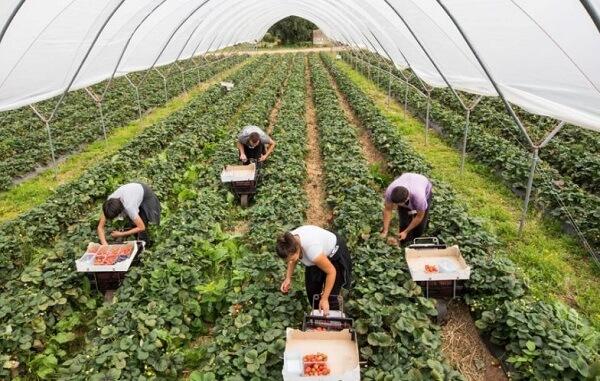 Fermierii englezi cheamă români să muncească în agricultură. Îmbarcarea se face la Iaşi